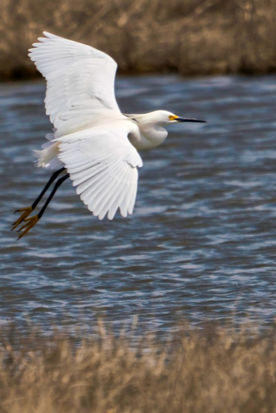 Snowy Egret in flight over a salt marsh