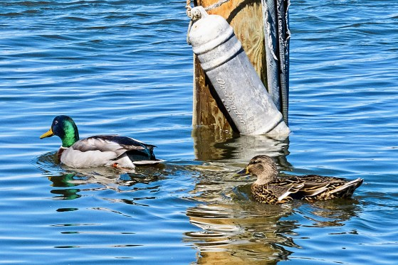 Male and Female Mallard Ducks in Spring