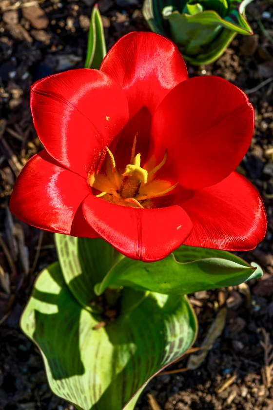 Red tulip catching the sun.