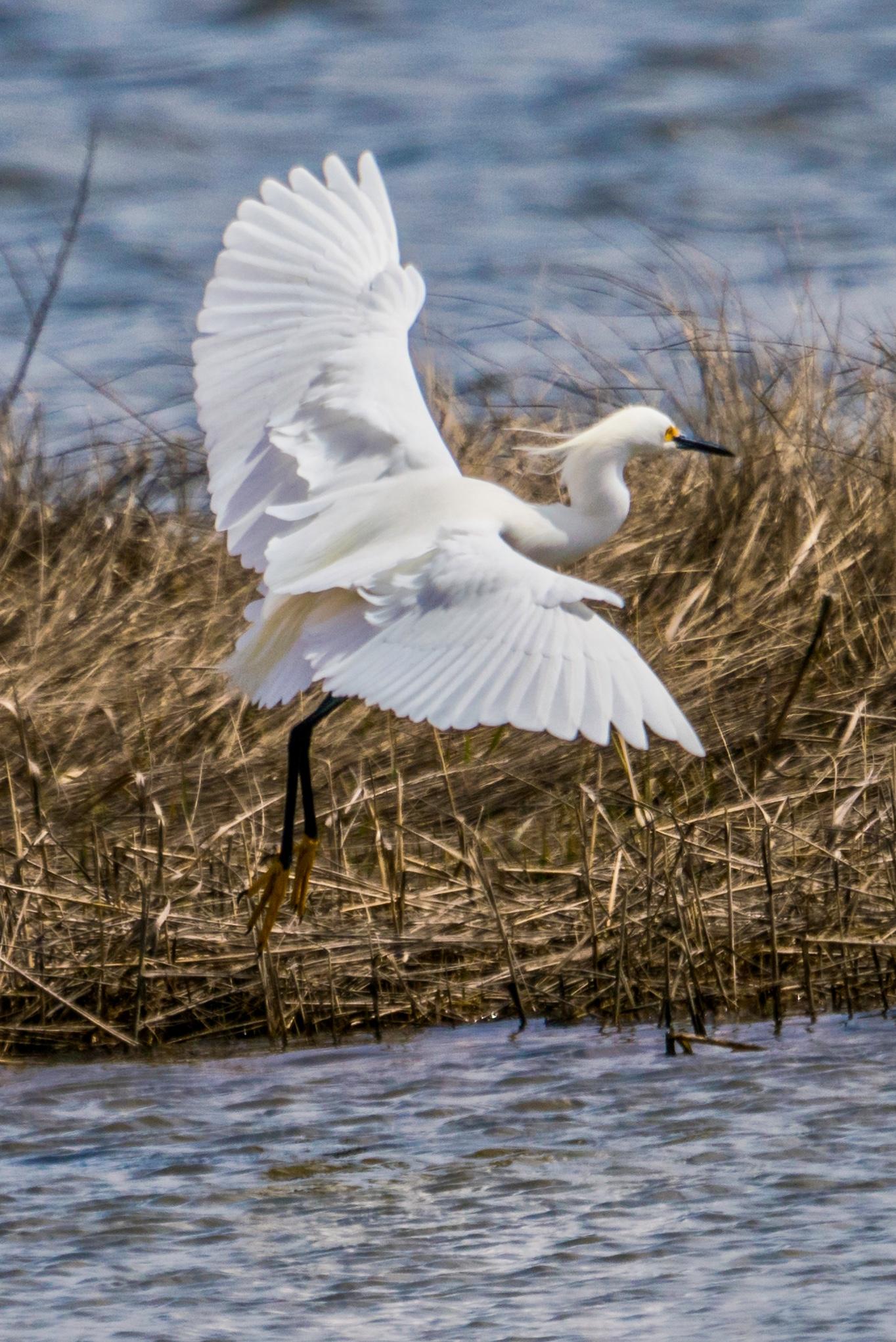 Snowy Egret in flight over salt marsh