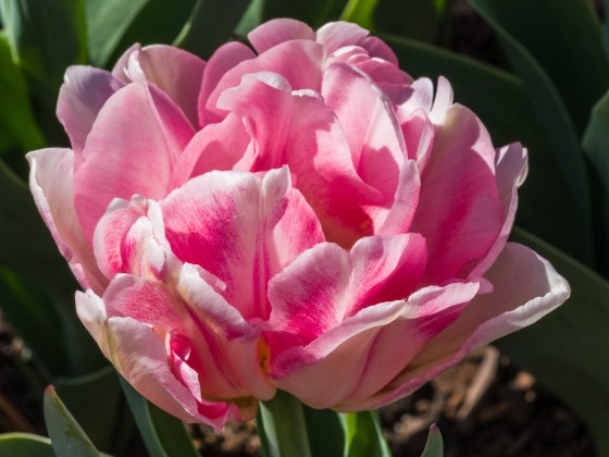 Pink and White Double Tulip