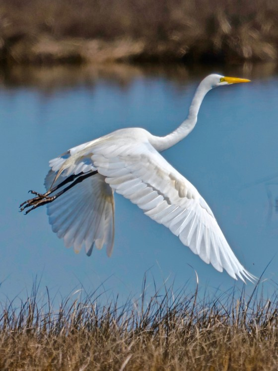 Great Egret in Flight over Salt Marsh