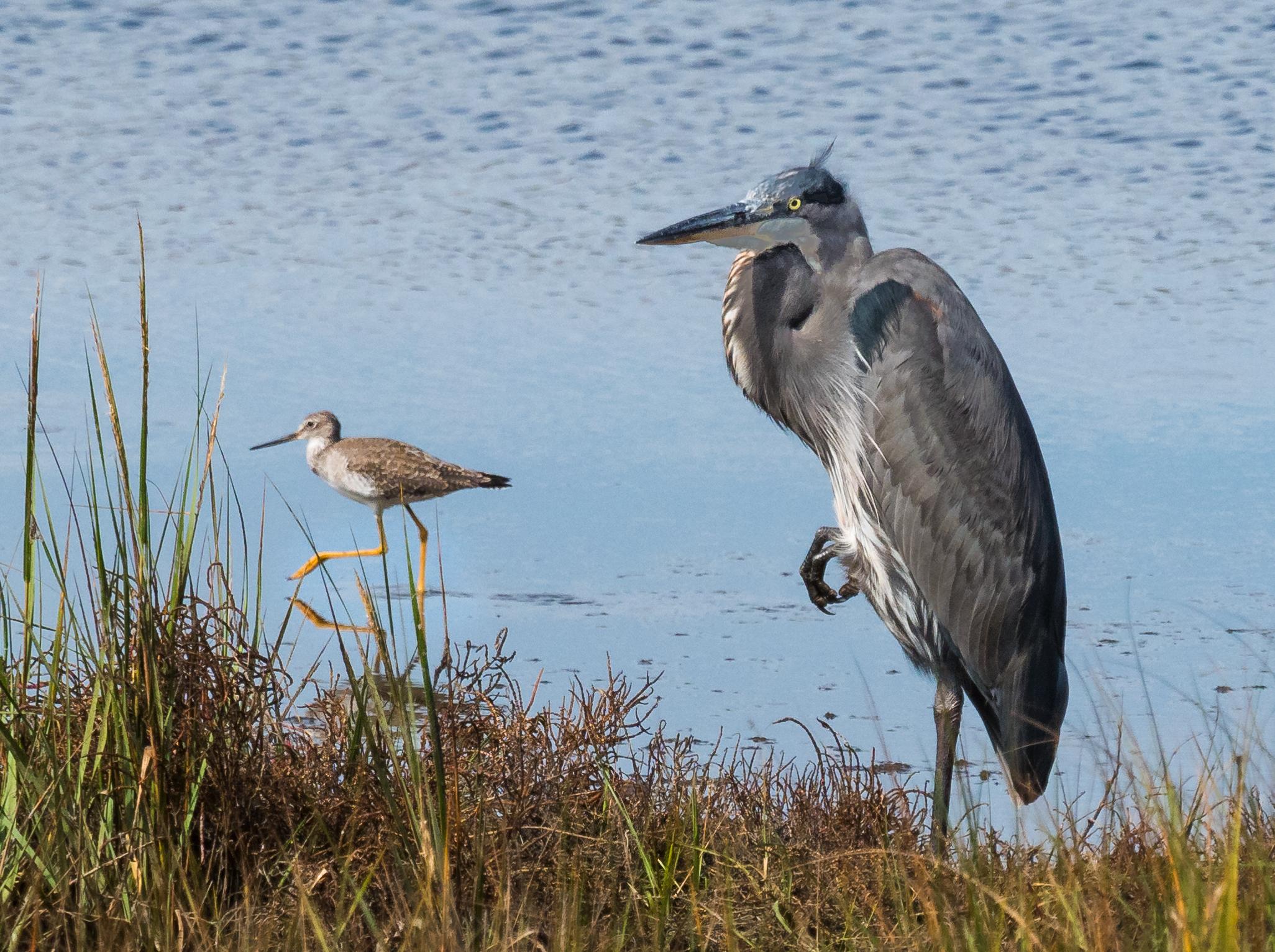 Lesser Yellowlegs and Little Blue Heron in salt marsh