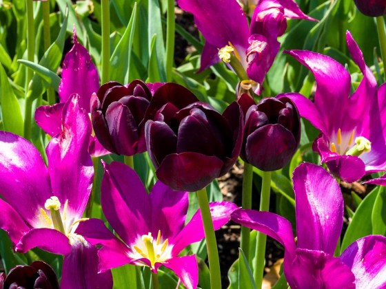 Queen of the Night and Purple Dream Tulips