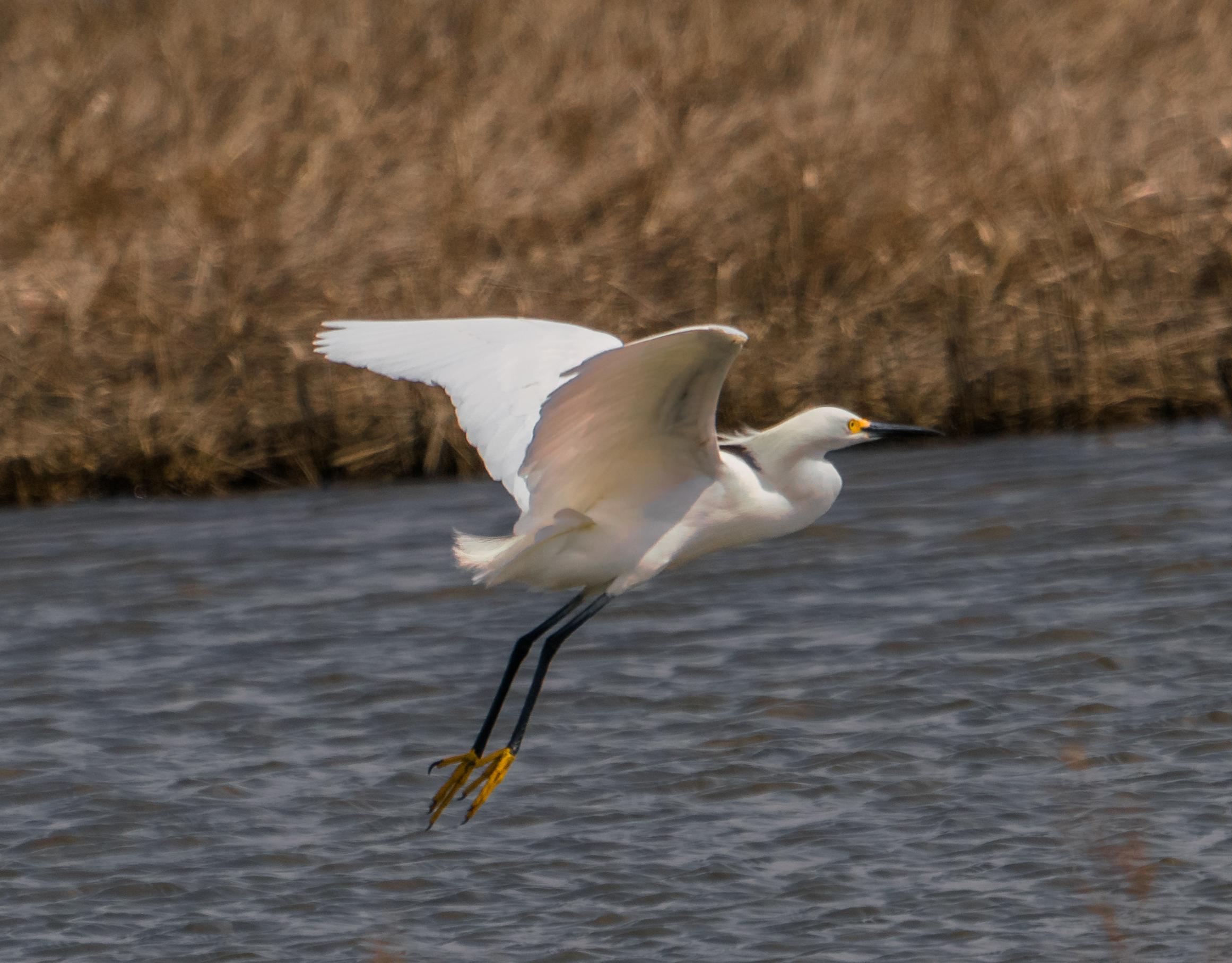 Snowy Egret Flying over Salt Marsh pool.