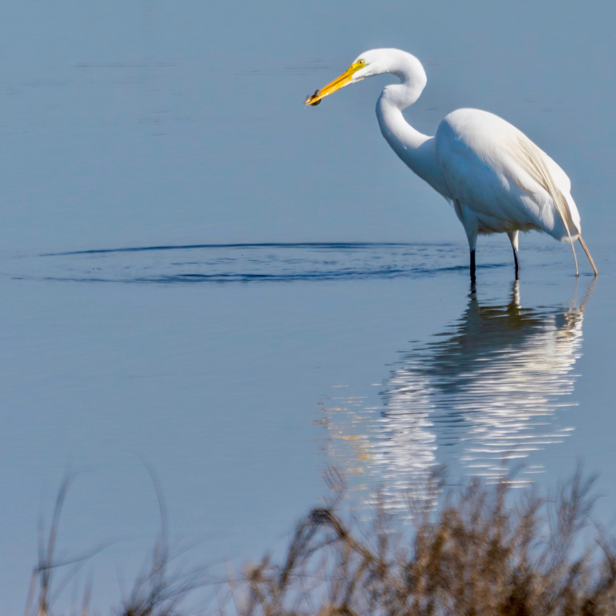 Great Egret catching a fish.