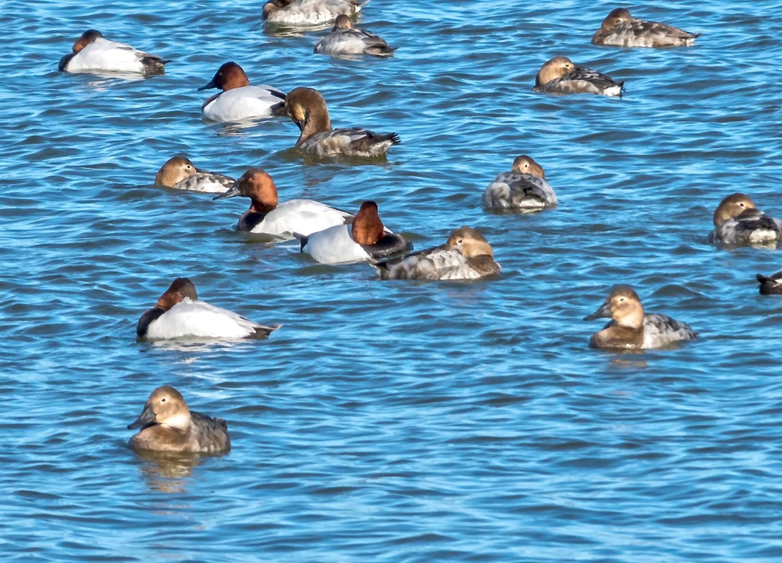 Redhead Ducks, second of three images