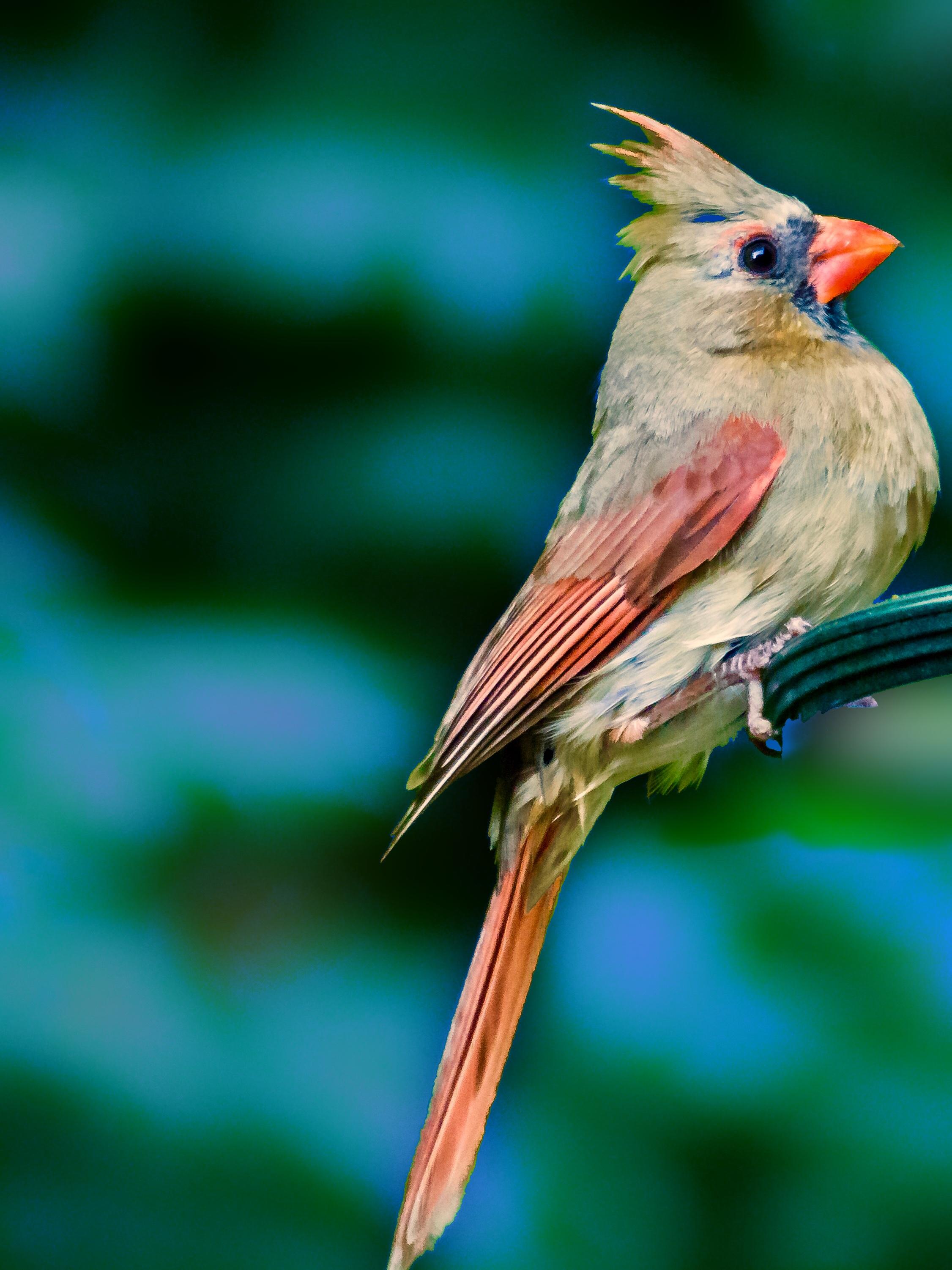 Female Cardinal in Profile