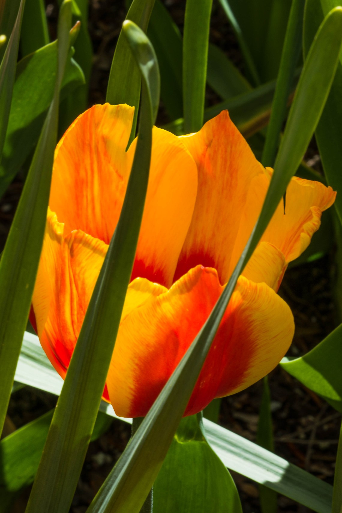 Flame colored tulip,in May 2018