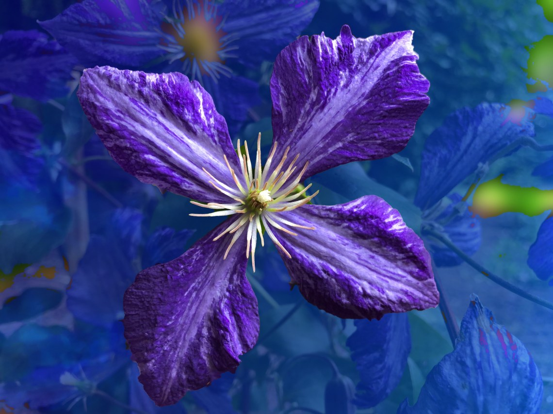 Purple Trailing Clematis Blossom on artsy-fartsy background