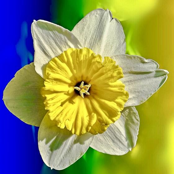 Flat blossomed Daffodil