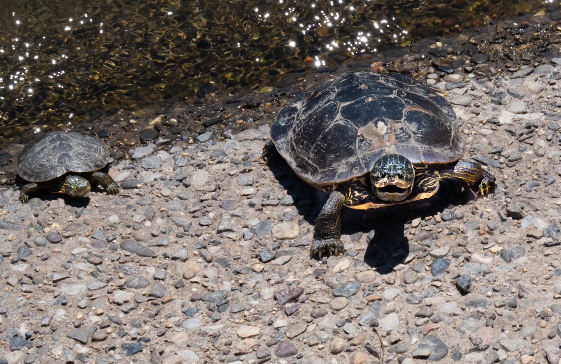 Left to right, a male and female mature Painted Turtle
