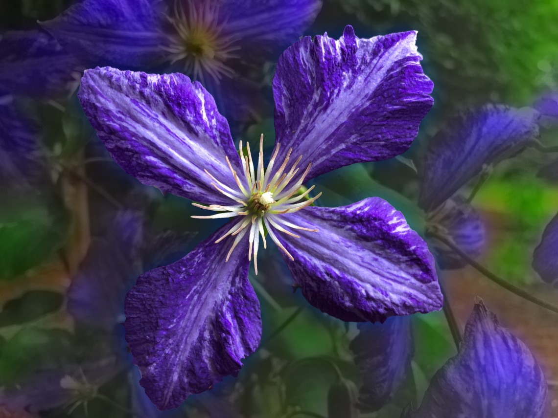 Purple Trailing Clematis