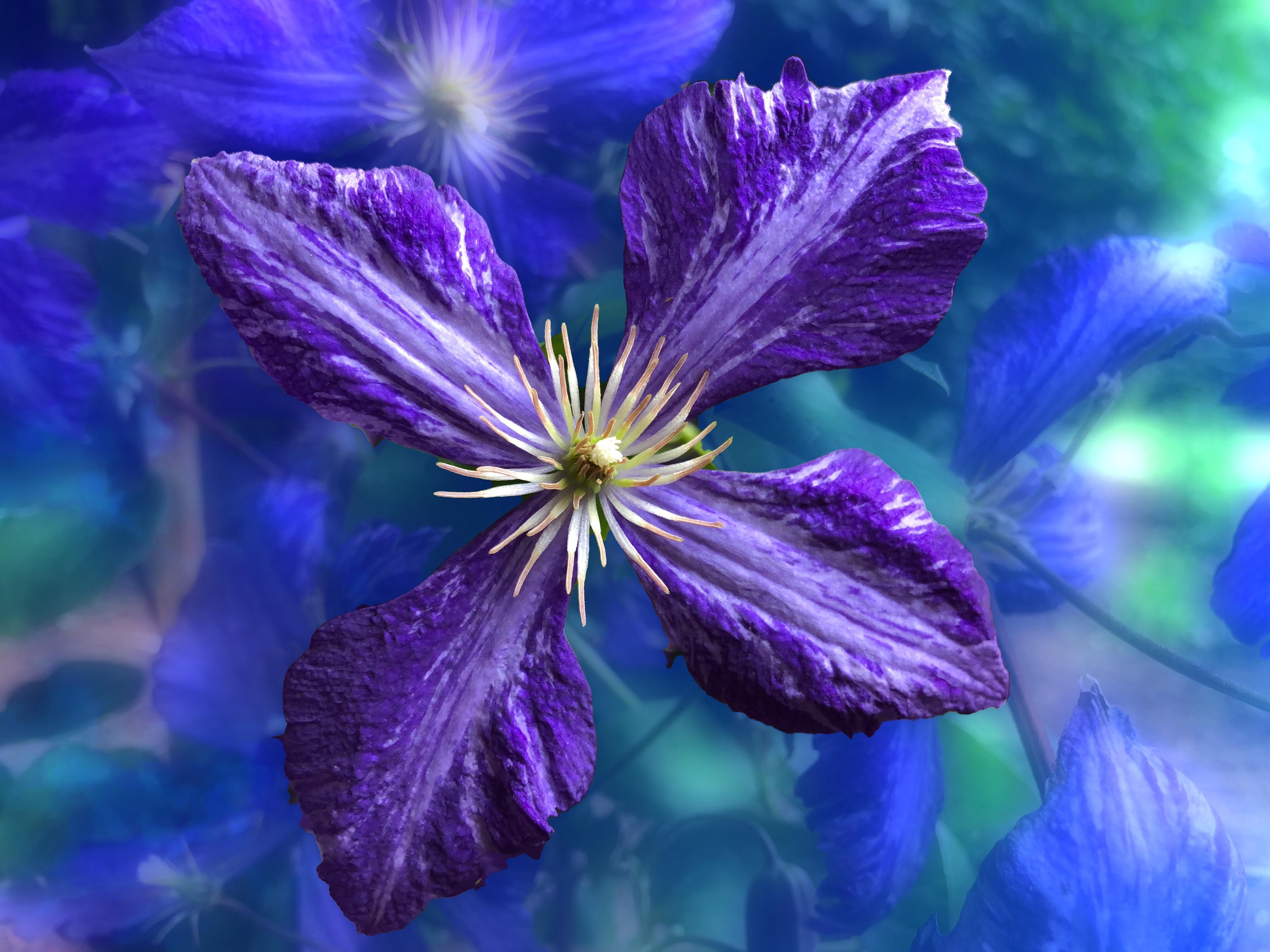 Purple Trailing Clematis.