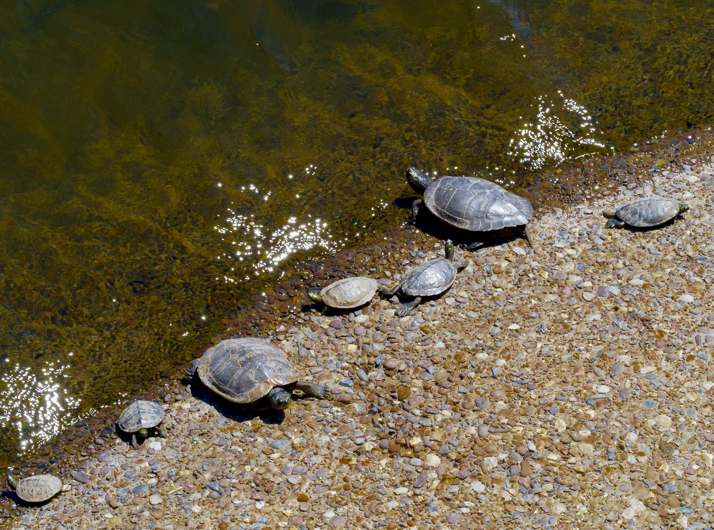 Turtles sunning themselves under a country bridge, on the concrete base of a stanchion.
