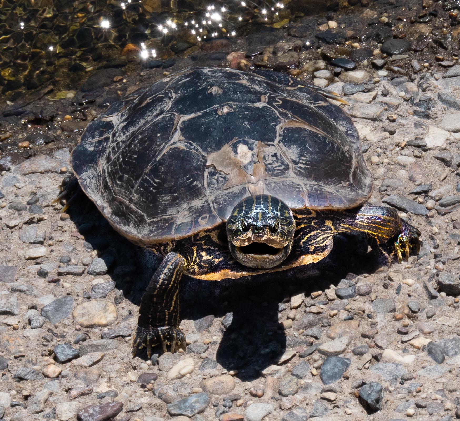Female adult Painted Turtle