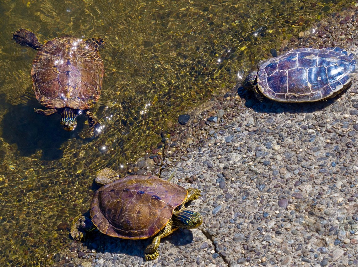 Three Painted Turtles—one stunning, and two arriving on the concrete support of a bridge stanchion.
