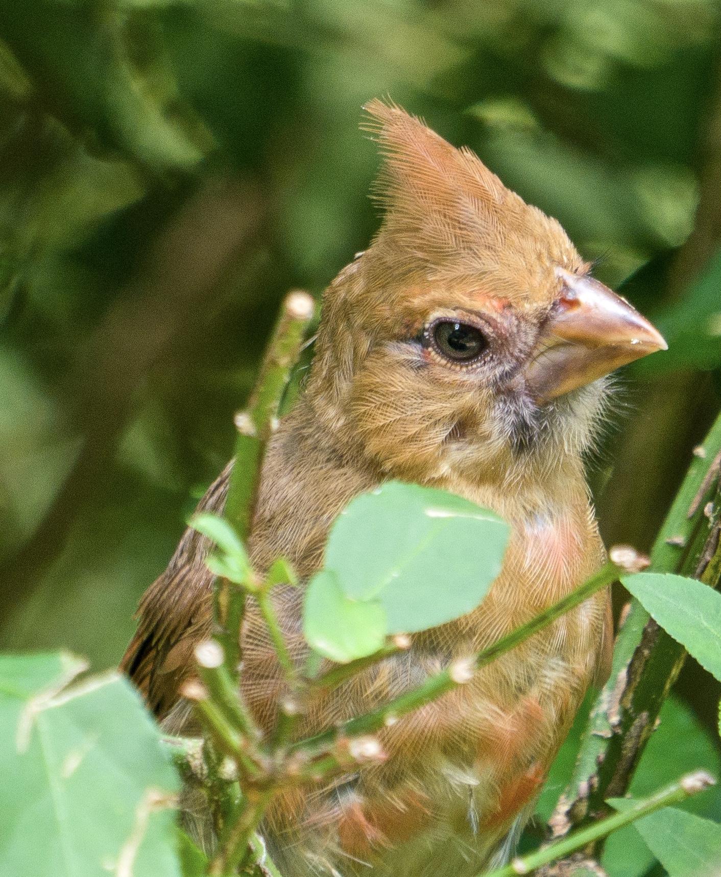 Golden female Cardinal