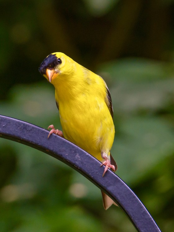 Male Goldfinch in mating plumage