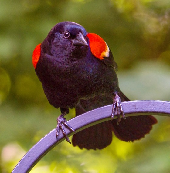 Red-Winged Blackbird, Male in Mating plumage.