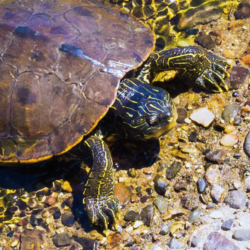 Painted Turtle emerging from a river onto the warm concrete suppprting the stanchion of a Country bridge.