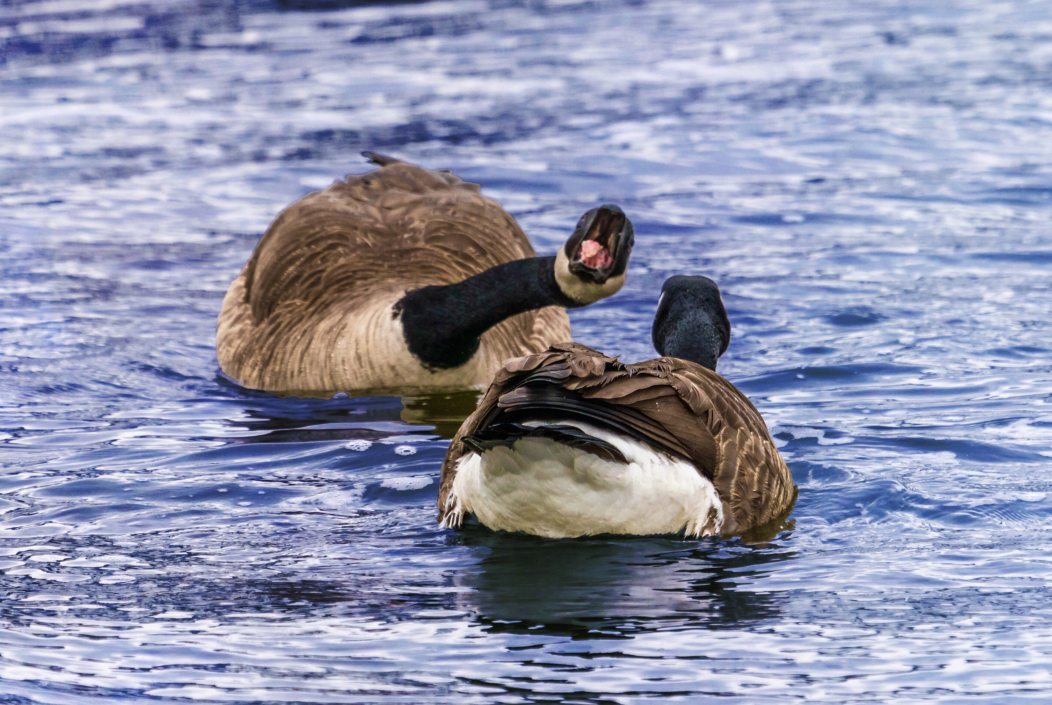 Canada Geese in Mating Dance, Singing