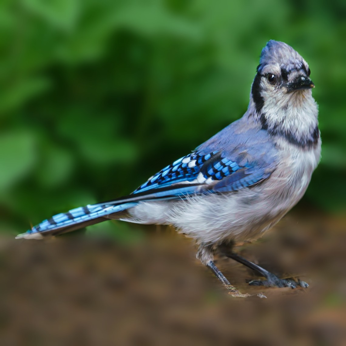Buster the Blue Jay, #3 of 4