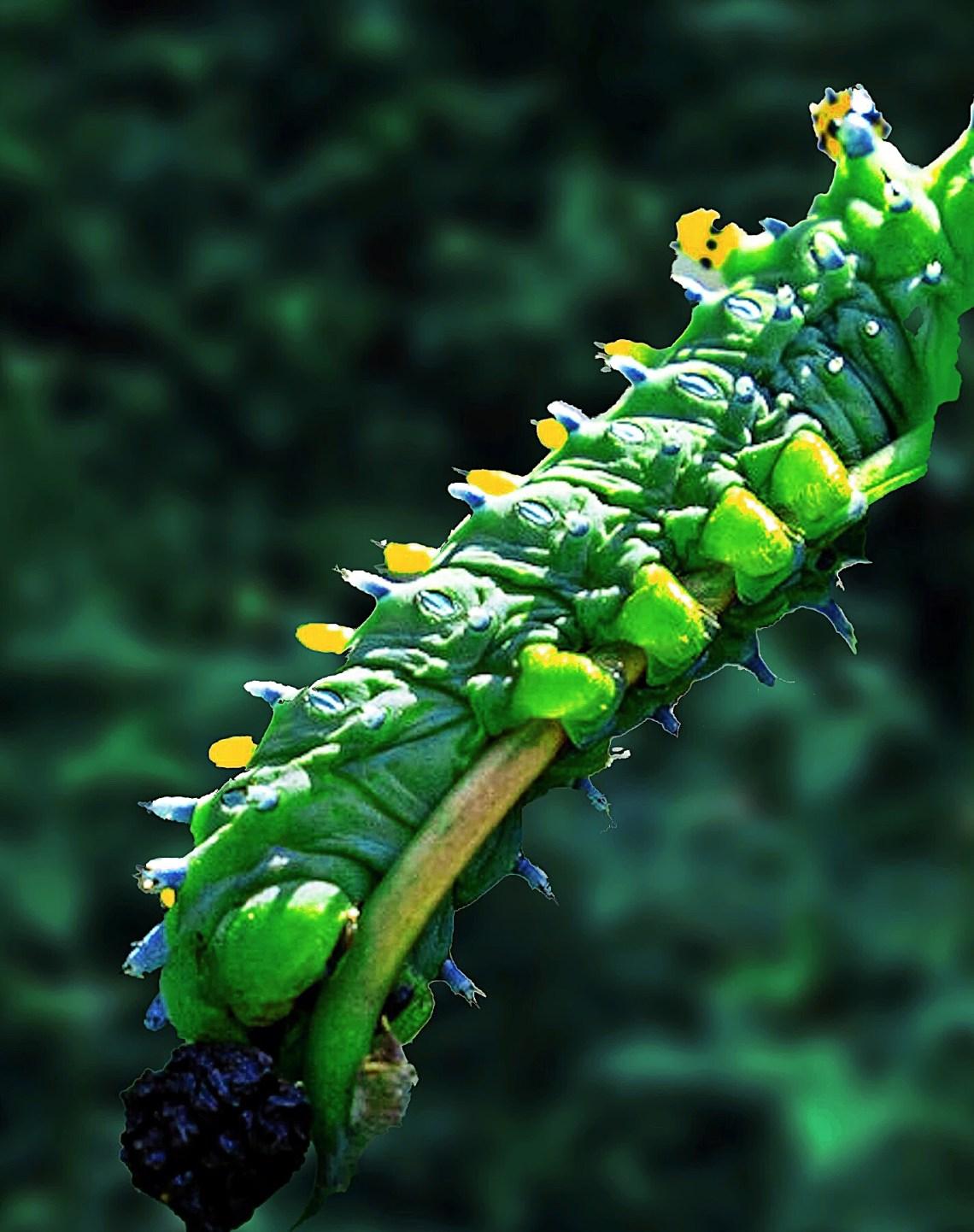Cecropia caterpillar eating its skin.