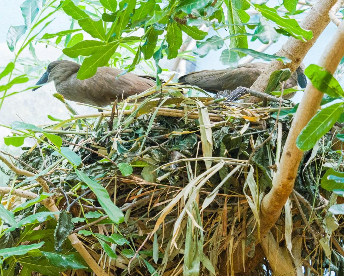 Nest-Building Hamerkops