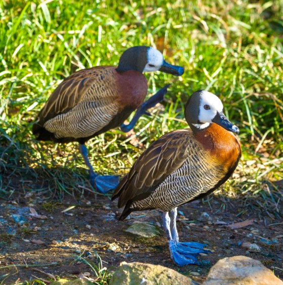 Photograph of White-Faced Whistling-Duck