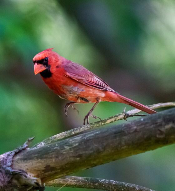 Cardinal Dancing