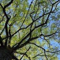 Chêne printemps