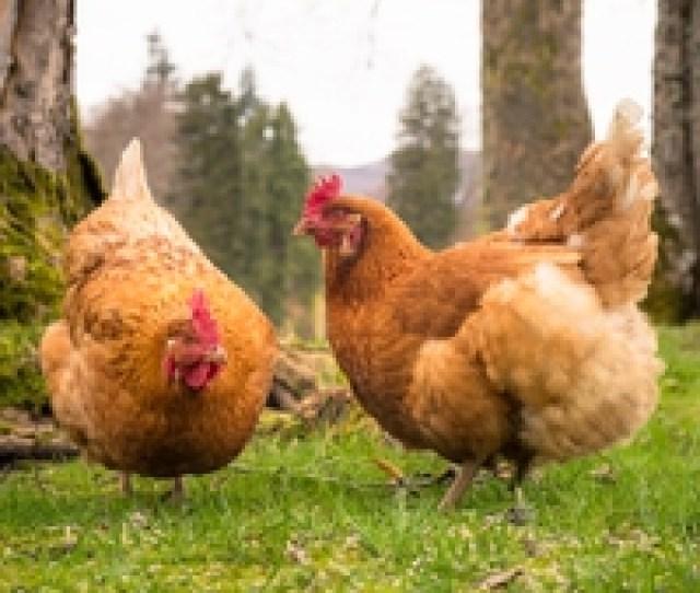 Us Uk Post Brexit Trade Deal Worries Chlorine Treated Chicken Debate Ruffles Feathers