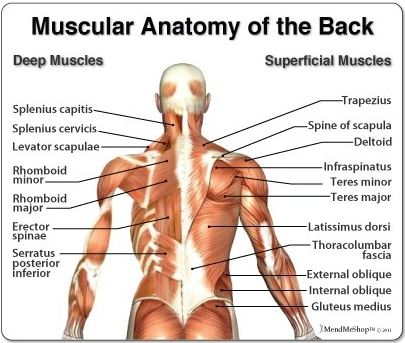 All About the Back Muscles