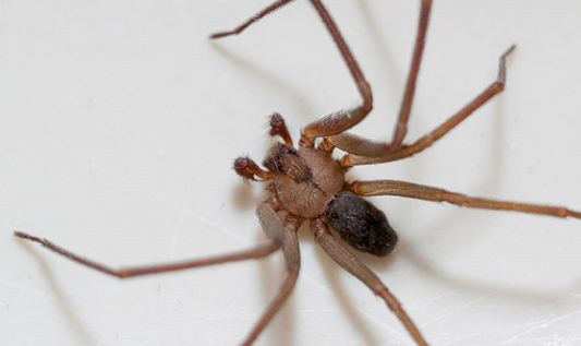 Brown Recluse Spider Bite Stages