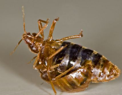 How do Bed Bugs Reproduce