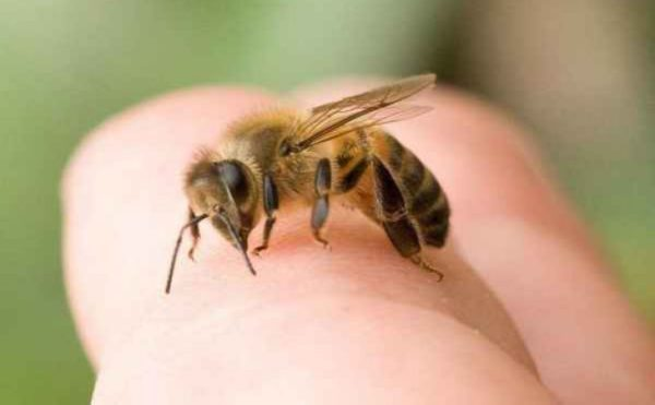 4 Home Remedies to Relieve Bee Stings