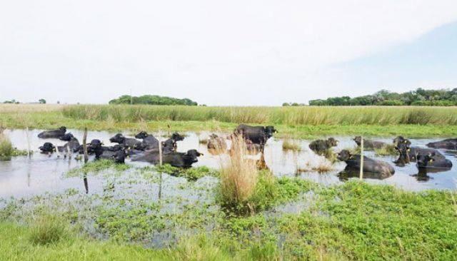 Búfalos en Artigas – Artigas Noticias