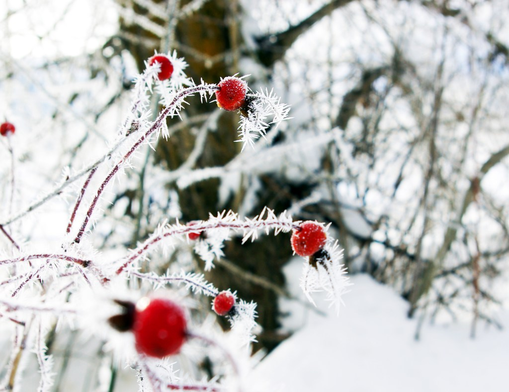 Ice crystals on rosehips in Leavenworth, WA. Photography by L.E. Paulson
