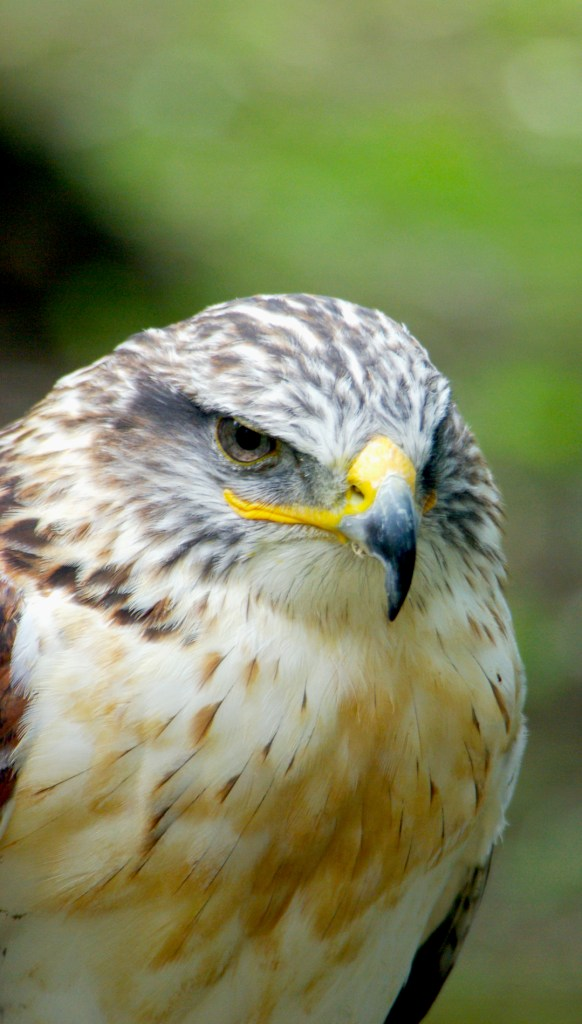 Raptor, hawk. Photography by L.E. Paulson