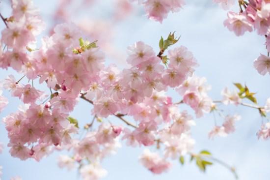 yoshiko-mori-blossoms