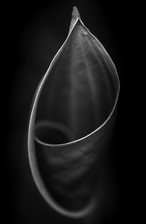 """This picture is part of Anna's ongoing series, named """"Untitled"""".  All pictures in the series are black-and-white, 22""""x 30"""", macro photographs of living plant elements found in nature.  Pictures in the series are deliberately Untitled, so as not to distract from the image itself.  The art is intended to  invite contemplation"""