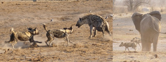 Painted dogs, spotted hyena and elephant in Zimbabwe.