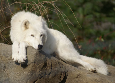 Atka, the Arctic wolf