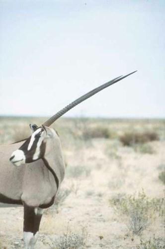 Gemsbok by Alison Nicholls ©2009