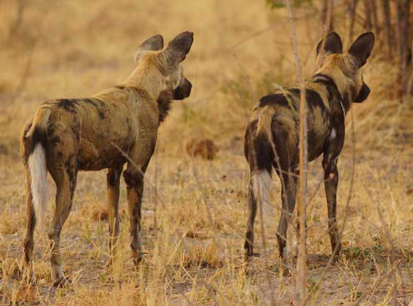 Painted Dogs (African wild dogs) photo by Nigel Nicholls © 2012