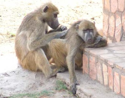 Baboons by Alison Nicholls ©2007