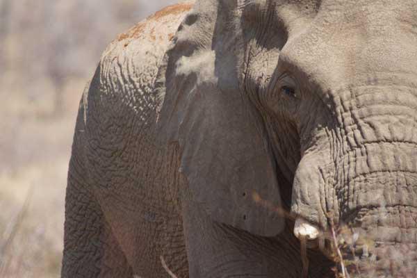 Elephant Sandwich - the 1st Bull. Photo by Nigel Nicholls ©2015