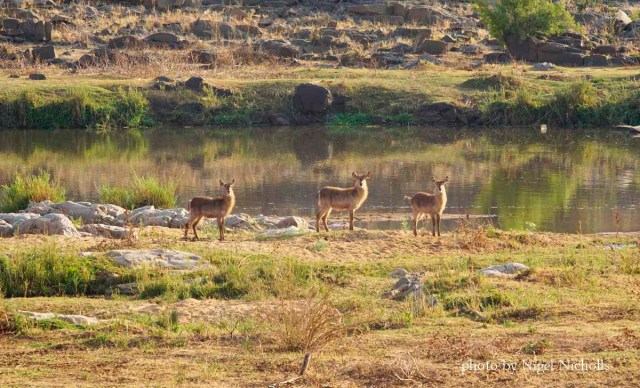 Waterbuck in Kruger NP