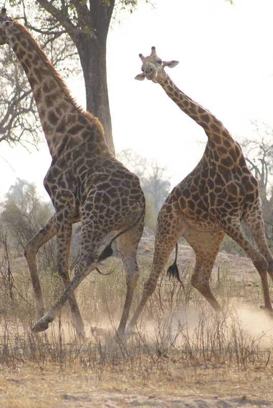 Giraffes fighting photo by Alison Nicholls